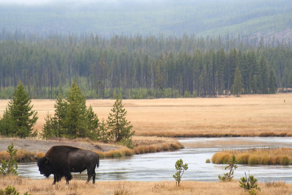 A picture of buffalo on a prairie